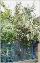 Photo: Deutia (Deutzia scabra) din Turda, Str. Avram Iancu, Nr.51 - 2019.06.11