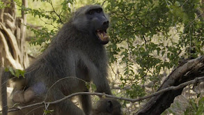 The Baboon King thumbnail