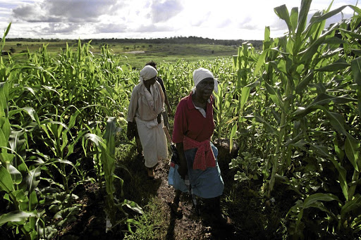 Women in a Zimbabwean maize field. Women have played an important role both in agriculture and the struggle for land, but have not been able to participate fully in land reform.