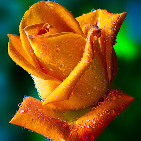 Yellow Rose by TEDDY ZUSMA - Nature Up Close Flowers - 2011-2013