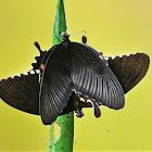 common mormon butterflies