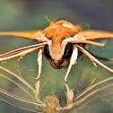 Lucas Hawk Moth