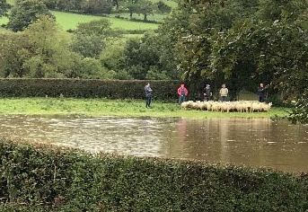 70 sheep rescued
