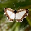 Lisimon Nymphidium