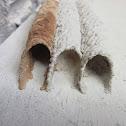Pipe Organ Mud Dauber nests