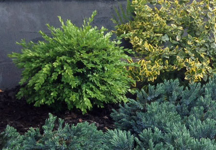 northern charm boxwood (left), emerald & gold euonymus (right) and the blue star juniper (front)