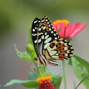Lunch #2 by Hindra Komara - Animals Insects & Spiders ( butterfly, macro, macro photography, bestoftheday, insects,  )