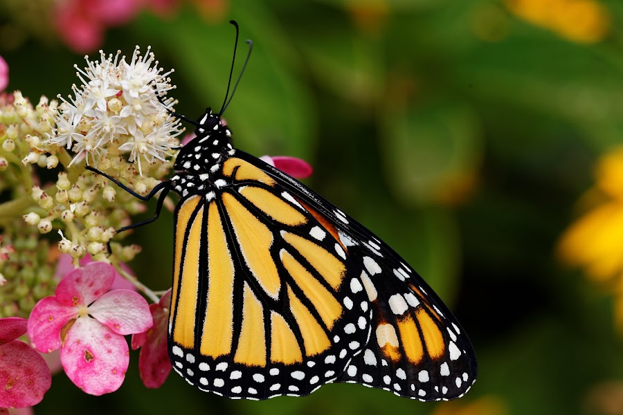 Monarch refueling by Paul Reese - Animals Insects & Spiders