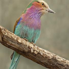 Rollier lilas by Gérard CHATENET - Animals Birds