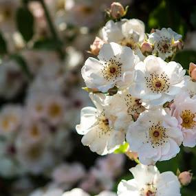 Wild Whites by John Shelton - Flowers Flowers in the Wild ( rose, reno rose garden, white, wild rose, flower,  )