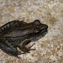 Sri Lankan Golden-backed Frog