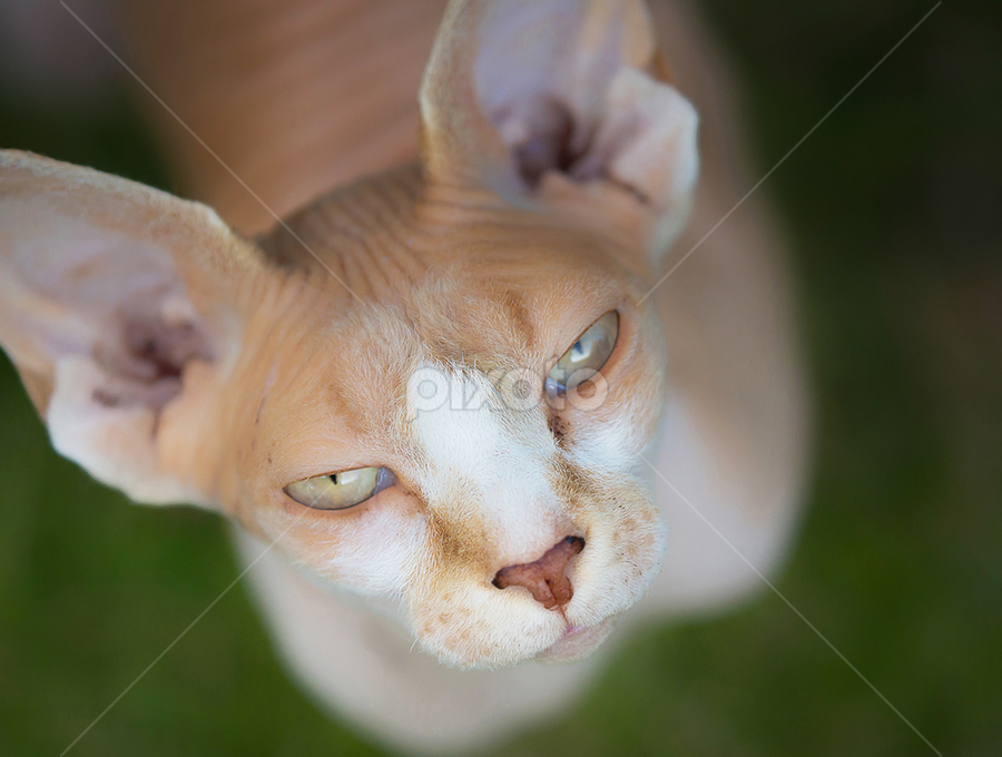 Sphynx cat by Allan Wallberg - Animals - Cats Portraits (  )