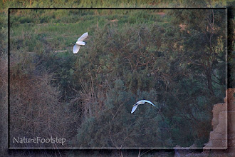 Photo: Silkeshäger - Egretta garzetta - Little Egret - Aigrette garzette NF Photo 121112 Oued Massa http://nfmoroccobirds.blogspot.se/2013/02/silkeshager-egretta-garzetta-little.html