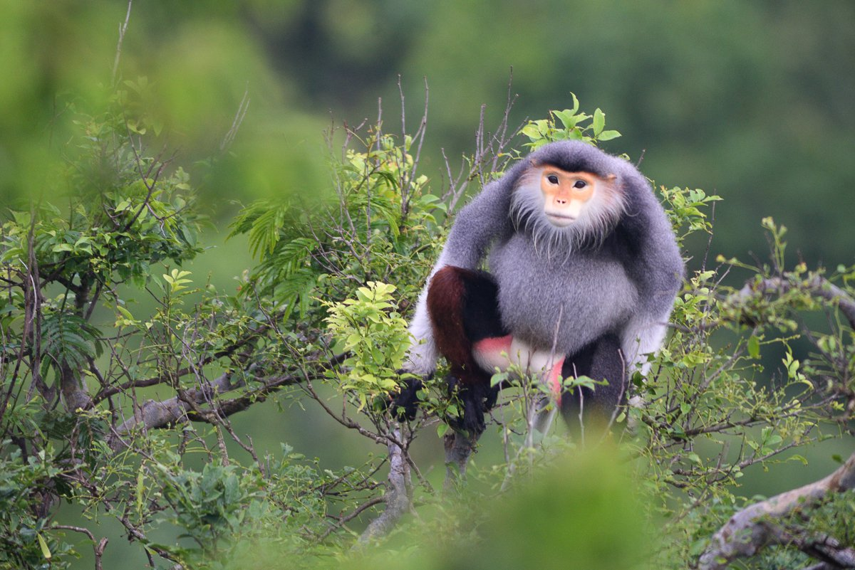 Red face monkey on Son Tra Mountain