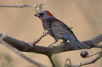 Photo: Varied Bunting (Vielfarbenfink), male; Juriquilla, QRO