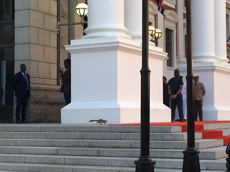 A squirrel made its appearance on the red carpet at Parliament ahead of Sona on Friday night where President Cyril Ramaphosa gave his first state of the nation address.