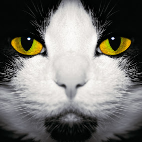 Mya by Matt Workman - Animals - Cats Portraits ( cats, cat, cat portrait, whiskers, portrait, eyes )