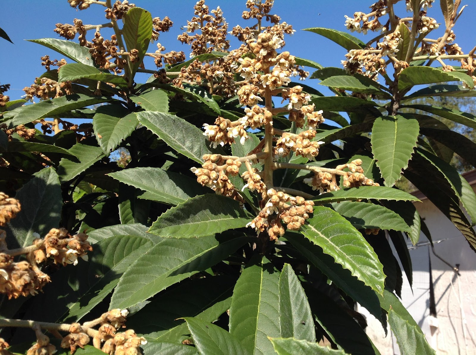Loquat buds and fruitlings in December 2019 - New Port Richey, FL