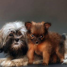 Huskie and Poochie by Edwin   S. Loyola - Animals - Dogs Portraits