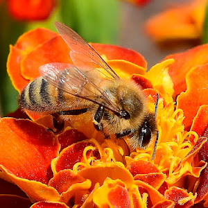 Flower and bees 520.JPG
