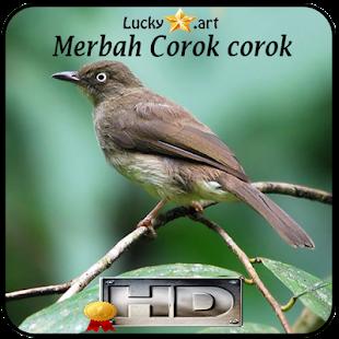 Merbah Corok corok Top - náhled