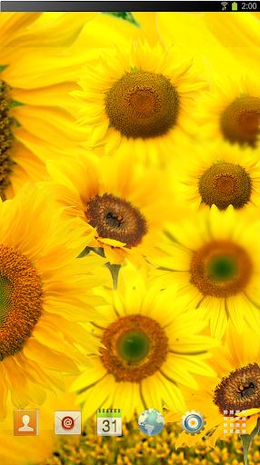 Sun flower dance LWP HD
