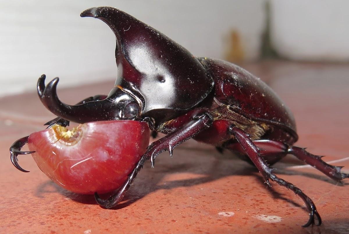 Siamese rhinoceros beetle (male)