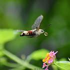 Pellucid Hawk Moth / Coffee Bee HawkMoth / Coffee Clearwing