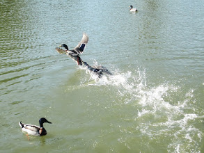 Photo: Duck biting another duck's tail as it flies away at Eastwood Park in Dayton, Ohio.