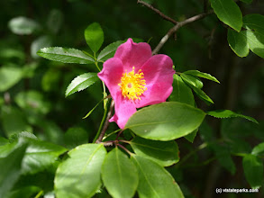 Photo: Wild rose at Kettle Pond State Park by Matt Parsons