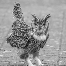 Owl by Garry Chisholm - Black & White Animals ( raptor, owl, bird of prey, nature, garry )
