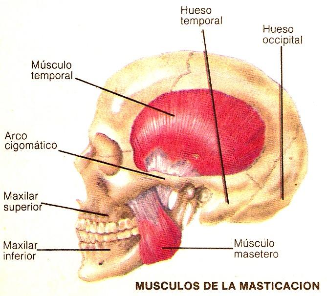 ANATOMÍA Y FISIOLOGÍA HUMANAS: SISTEMA MÚSCULO ESQUELÉTICO: Músculos ...
