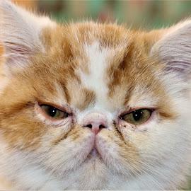 Pugsley  by Linda    L Tatler - Animals - Cats Kittens