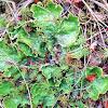 Green dog lichen