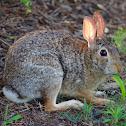 Cotton-tail Rabbit
