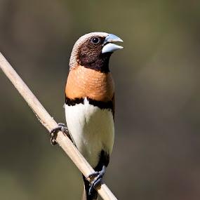 Chestnut-breasted Mannikin by Erica Siegel - Animals Birds ( bird, finch, seed eater, chestnut-breasted mannikin, mannikin )
