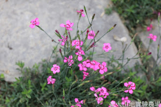 Photo: 拍攝地點: 梅峰-溫帶花卉區 拍攝植物: 美女石竹 拍攝日期: 2015_05_29_FY