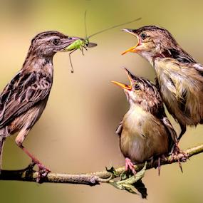 Feeding by Husada Loy - Animals Birds (  )