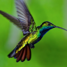 Hummer in Flight by Edison Pargass - Animals Birds
