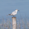 Whiskered tern (winter plumage)