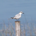 Whiskered tern (winter plumage)