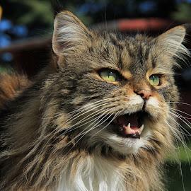 by James Schenk - Animals - Cats Portraits