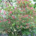 Oleander 'Calypso'