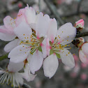 Wild Almond tree (Πικραμυγδαλιά)