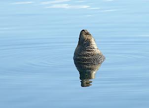 Photo: Elephant Seal