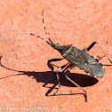 Broad-headed Bug