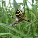 Wasp spider, Wespenspinne