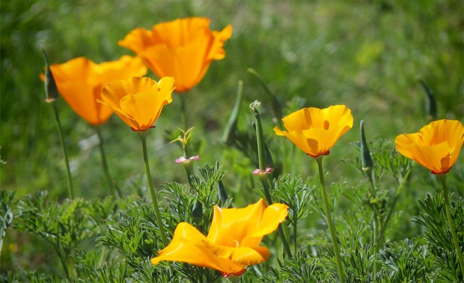 Poppies Please.jpg