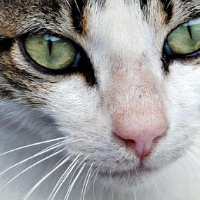 The Cat by Leony Sibug - Animals - Cats Portraits ( cat )