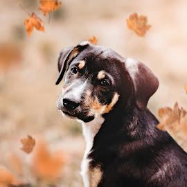 autumn love by Krisztina Ajtai - Animals - Dogs Portraits ( puppy, animal, autumn, dog, cute, pet,  )